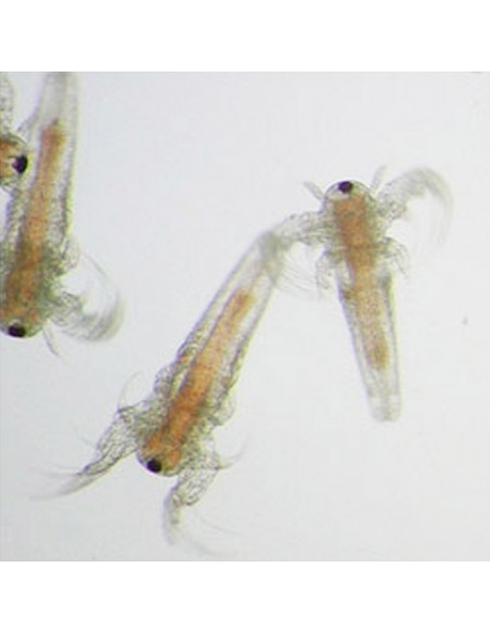 Artemia Cysts hashed